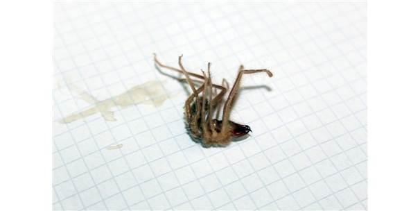 Niğde'de Sarıkız Örümceği Paniği İl Sağlık Müdürlüğü'nü Harekete Geçirdi