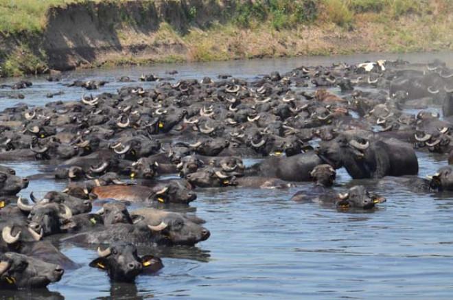 Burası Afrika Değil Balıkesir! Mandalar Sıcak Havaya Dayanamayıp Kendilerini Suya Attı!