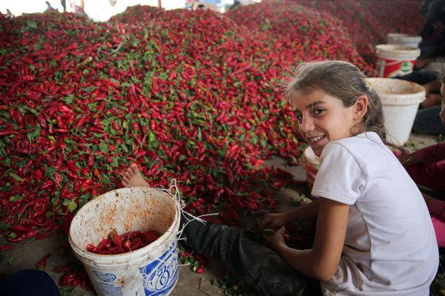 Kırmızı Biber Gaziantepli Kadınların Gelir Kapısı Oldu! Kasası 5 TL'den Kırmızı Biber Ayıklıyorlar