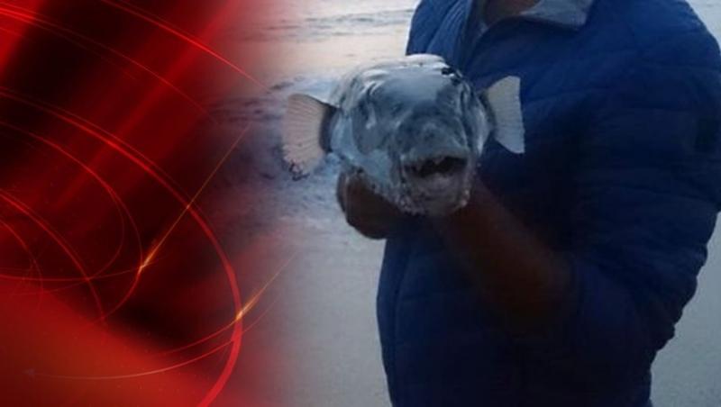 Siyanürden 50 Kat Zehirli Balon Balığı Sahile Vurdu