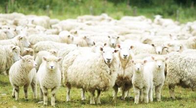 300 Koyun Projesinde Önemli Gelişme! Başvuru İçin Neler Gerekiyor, Başvuru Tarihi Ne Zaman Bitiyor?
