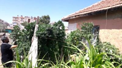 Bahçesinden 300 Kök Hint Keneviri Çıkan Kadın: Ben Onları Domates Sanıyordum
